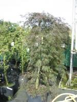 Acer struiken