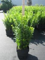 Buxus haagplanten