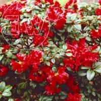 Rhododendron Dwerg