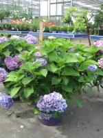Hydrangea macrophylla soorten