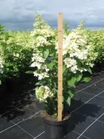 Hydrangea paniculata Fraise soorten