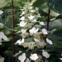 Hydrangea paniculata Divers