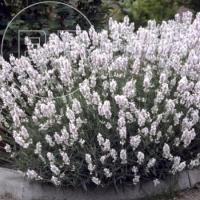 Lavendel wit