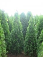 Levensboom Smaragd