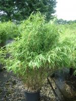 Niet woekerende of zodevormige bamboe