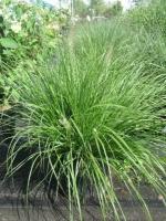 Pennisetum soorten