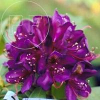 Rhododendron Hybride