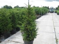 Taxus Baccata Haagplant