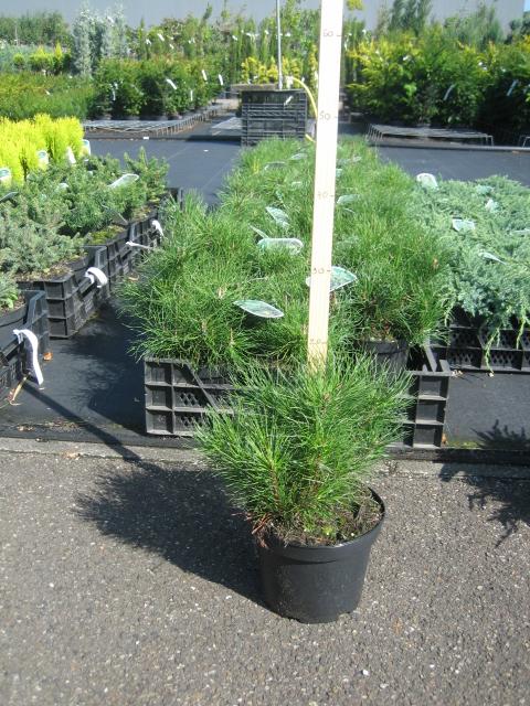 Pinus in soorten