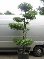 Acer Campestre 260 cm  C90