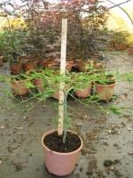 Acer dissectum C5 40/50cm