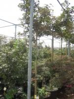 Acer palm. Bloodgood stam200 C35