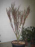 Acer palm. Fireglow 150/200 C50