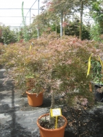 Acer palm. dis. Stella Rosso 1/2 stam C22