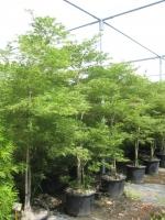 Acer palm. dis. Viridis 250/300 C50