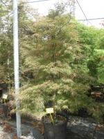 Acer palm. dis. Garnet 200/250 C50