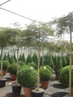 Acer palm. dis. Atropurpureum stam180 C35