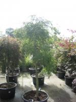 Acer palm. dis.  Stam 140 C50