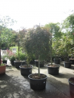 Acer palm. dis. Garnet Stam 140 C50