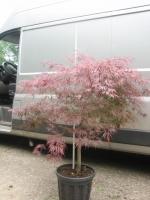 Acer palm. dis. Garnet 1/2 stam C30