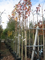 Acer rubrum Bowhall 10/12 C30