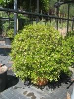 Azalea Japonica 150/200 C90