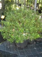 Azalea Japonica 50/60 C25