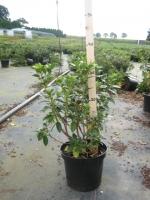 Azalea (rhod.) Praecox 30/+ C3