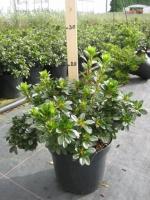Azalea (rhod.) jap. Anouk 20/+ C2