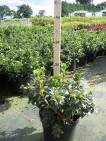 Azalea (rhod.) jap. Kermisina 20/+ C2