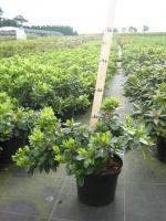 Azalea (rhod.) jap. Mary Helen 20/+ C2