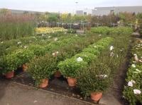 Azalea (rhod.) jap. in soorten 50/+ C10