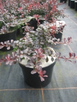 Berberis th. atropurpurea nana C3 20/30