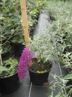 Buddleja davidii Nanho Purple C3 30/40