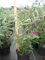 Buddleja davidii Royal Red C3 30/40
