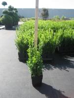 Buxus sempervirens C1 25/+