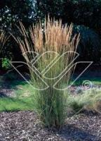 Calamagrostis acutiflora Overdam C2