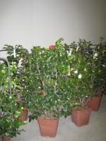 Camellia japonica leivorm C18