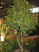 Camellia japonica exemplaar C90