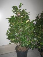 Camellia japonica 100/125 C30