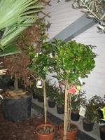 Camellia japonica 1/2 stam C12