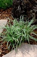 Carex Silver Sceptre C2