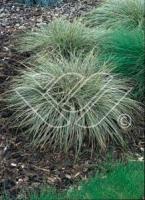Carex Snowline