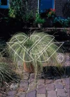 Carex comans Frosted Curls C2