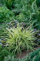 Carex morrowii Goldband