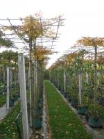 Carpinus betulus DAK 14/16 C