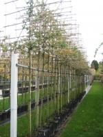 Carpinus betulus SCHERM 14/16 C
