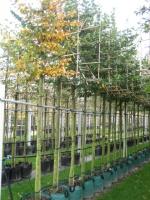 Carpinus betulus SCHERM 16/18 C50