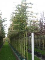 Carpinus betulus SCHERM 18/20 C