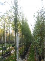 Carpinus betulus Fastiagata 12/14 C